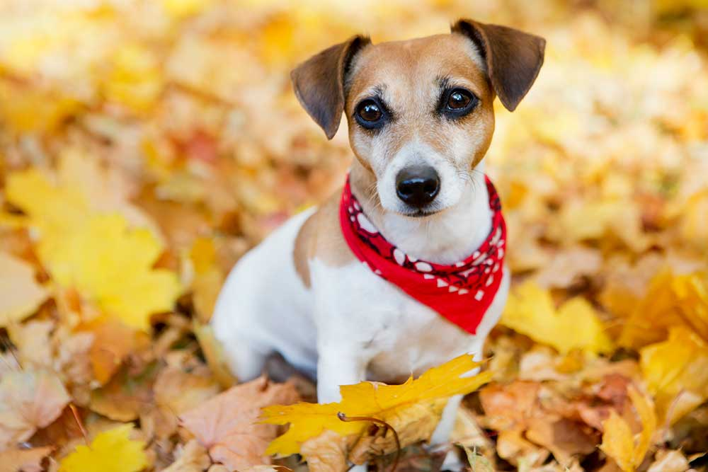 Image of a Jack Russell Terrier wearing a red bandana around her neck sitting in a pile of autumn leaves.
